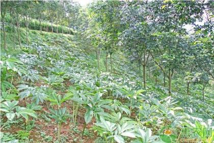魔芋的种植时间和管理方法