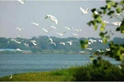 56万余只候鸟中国最大淡水湖鄱阳湖越冬