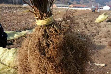 采取哪些措施可以促进扦插苗生根?