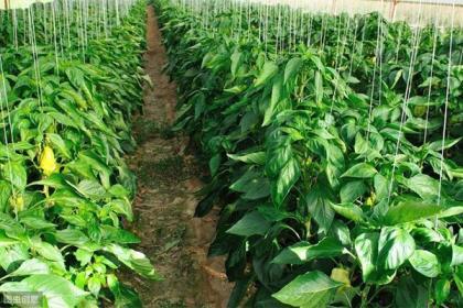 在农村的大棚里种辣椒,起垄种植和地膜覆盖都有哪些好处?