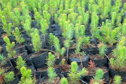 从事绿化树木种植行业,选择什么树种好