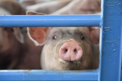 生猪养殖利润突破2500元头