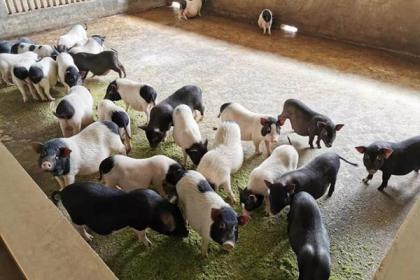 养蛇+养香猪,广西这个村靠特色养殖走上致富道路!