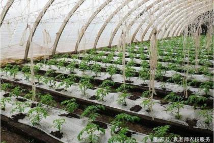 西瓜、马铃薯、番茄等作物这样除草效果最好