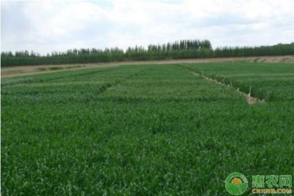 小麦冻害发生条件及后期补救措施