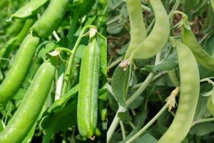 豌豆种植要想产量更高,都离不开这些普通的细节