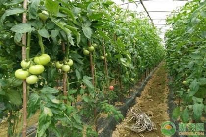大棚番茄冬季产量低,可能是这4点没做好!