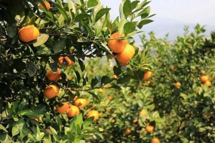 沙糖橘的基本特性及坡地种植技术