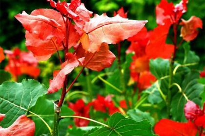 冠红杨-城市道路绿化优秀的彩叶树种