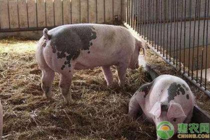 养猪100天出栏饲料配方,养猪户赶紧收藏!