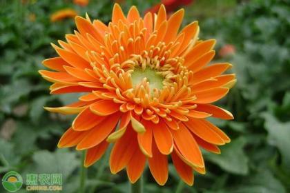 几月种植非洲菊?非洲菊的种植要点介绍