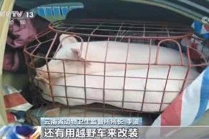 炒猪团偷运生猪 一天最多调出生猪4000头获利400万