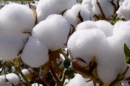 2020年全国植棉意向下降7.86%--全国棉农植棉意向调查