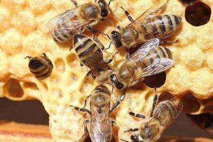 为什么养殖中蜂要做到1年2次换王?老蜂农培育强群的法宝!