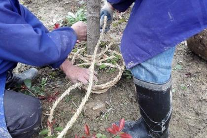 园林施工中的反季节苗木的选择及种植技术