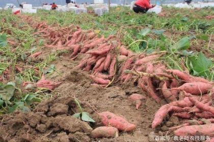红薯这样施肥,增产可达30~60%