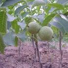 太原钙果苗种植