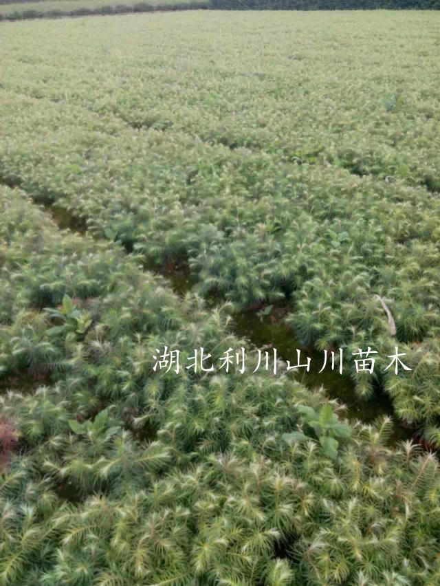 刺杉0.jpg
