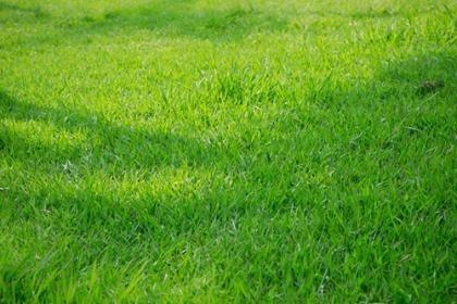 太原绿化草坪卷