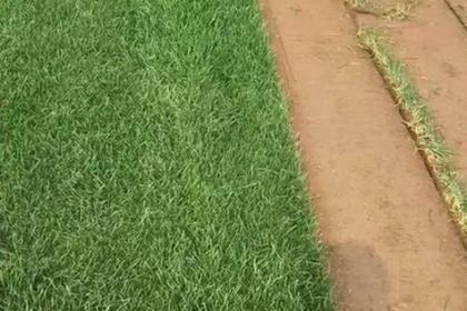 哈尔滨草坪卷批发