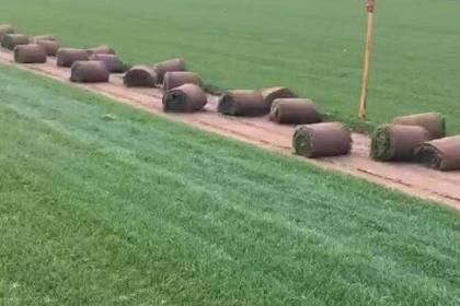 哈尔滨早熟禾草坪