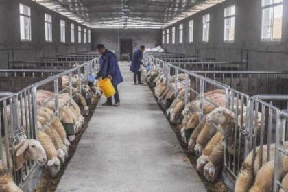 安徽湖羊种羊
