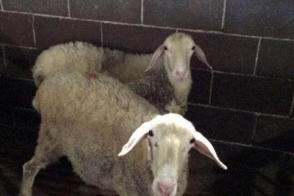 安徽湖羊养殖场